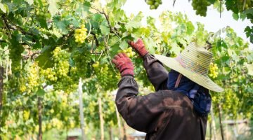 Cambodia's only vineyard