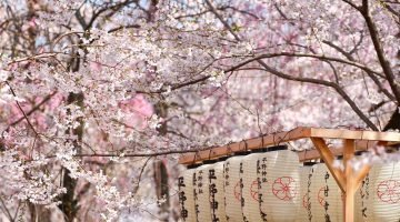Japan Loves Cherry Blossoms