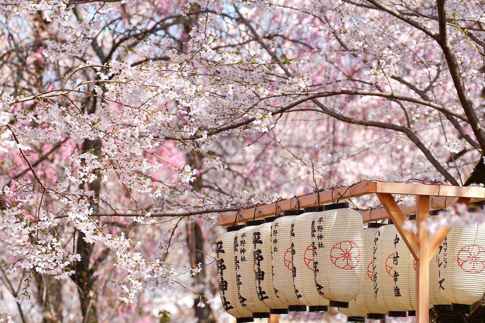 Japan Loves Cherry Blossoms